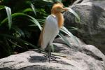 Asian cattle egret
