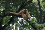 Red-cheeked crested gibbon