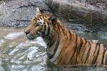 Mainland (Indochinese) tiger