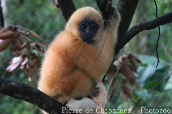 Northern buff-cheeked gibbon