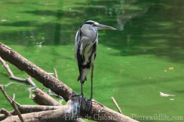 Asian grey heron