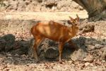 Northern red muntjac