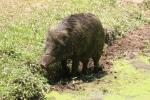 Indochinese wild boar
