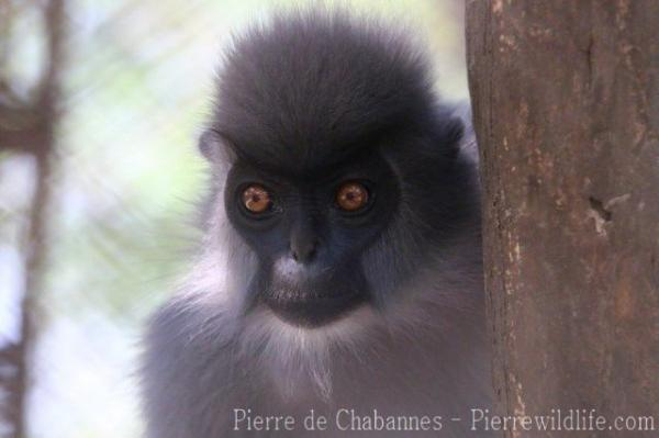 Shortridge's langur