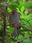 Chestnut-capped laughing-thrush