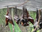 Large flying-fox