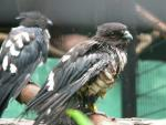 Black bazza