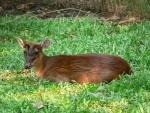Indian barking-deer