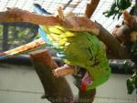 Great green macaw *