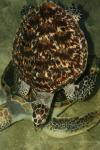 Asian hawksbill turtle
