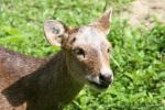 Indian hog deer *