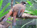 Black-faced laughingthrush *