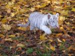 Mainland (White) tiger *