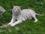 Mainland (White) tiger